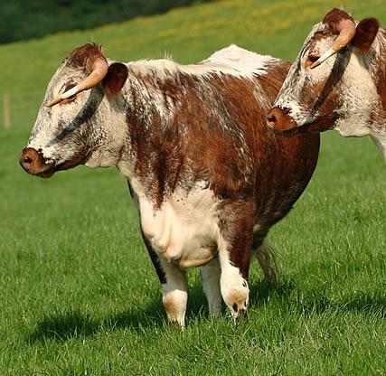 Rare Breed Beef, Longhorn Beef