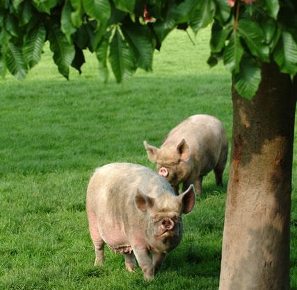 middle white pig, middle white pork, online butchers, order meat online